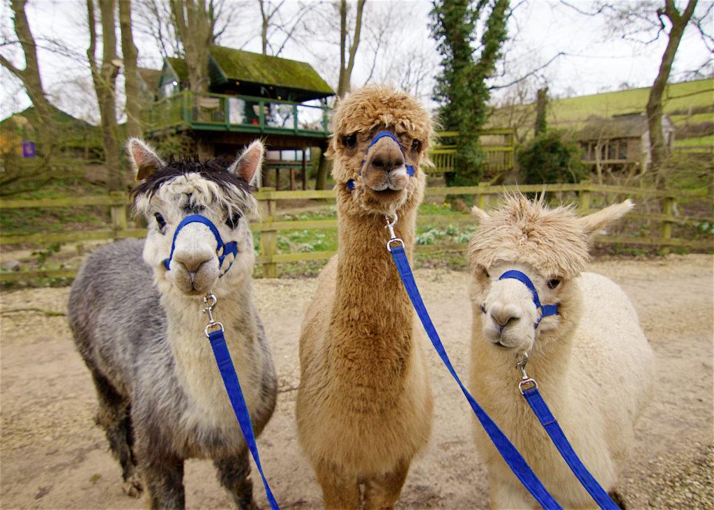 Winchcombe Farm, alpacas
